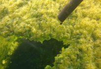 جلبک های و باکتری های موجود در آب